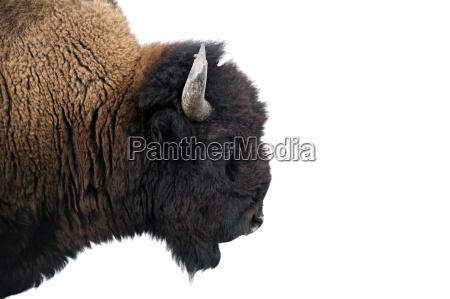 amerikanischer bison im yellowstone nationalpark