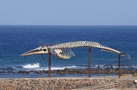walskelett auf fuerteventura