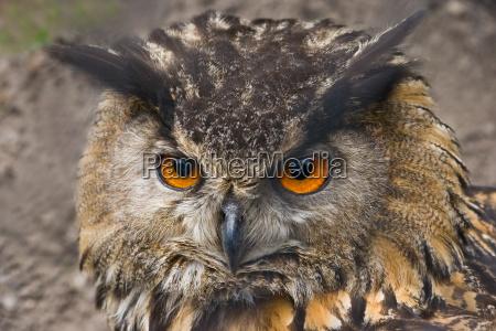 portrait of eagle owl
