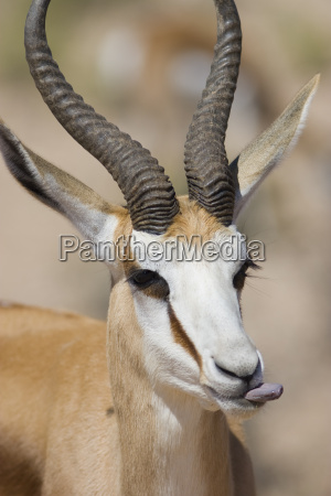 headshot of springbok with its tongue