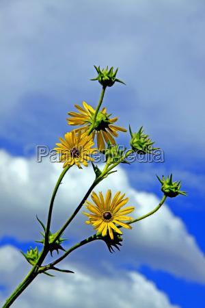 compass plant silphium laciniatum