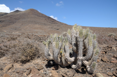 cactus on fuerteventura canary islands