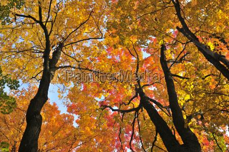 alberi di acero di autunno
