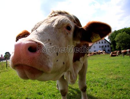 neugierige kuh auf weide ii