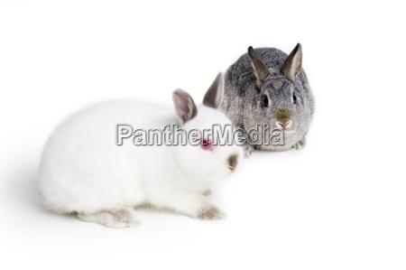 haeschen kaninchen
