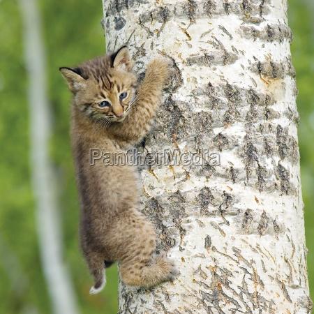 bobcat kit kletterbaum
