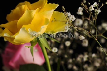 gelbe rose auf schwarzem hintergrund
