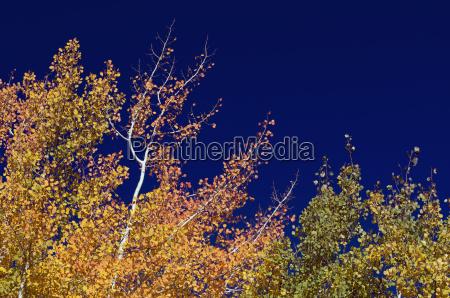 colorful aspen pines against deep blue