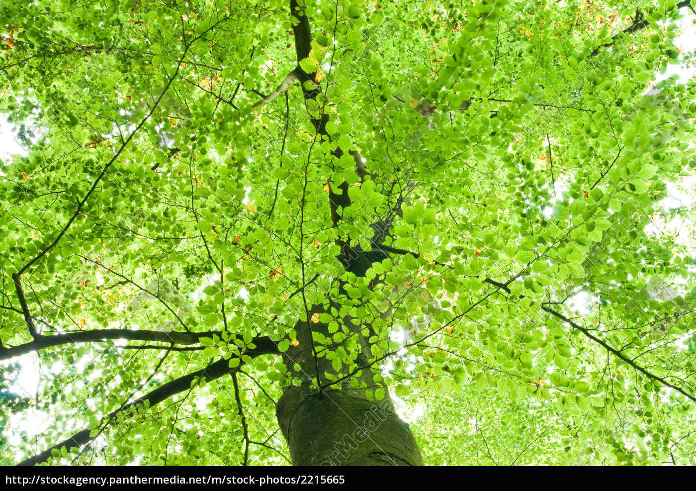 grüner baum oben - stockfoto - #2215665 - bildagentur panthermedia