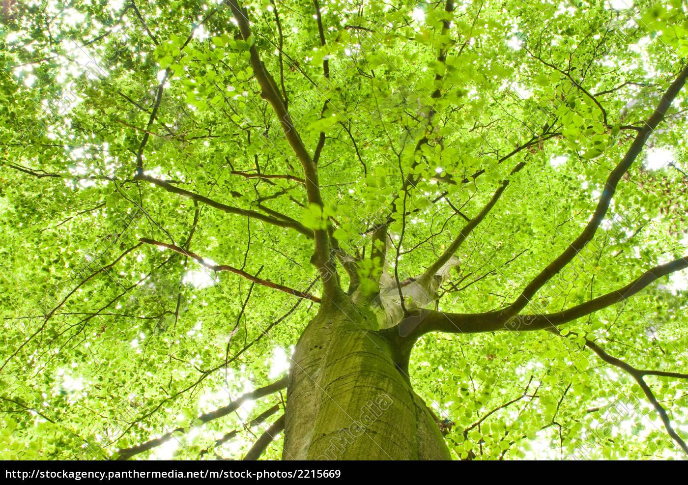 grüner baum oben - lizenzfreies bild - #2215669 - bildagentur