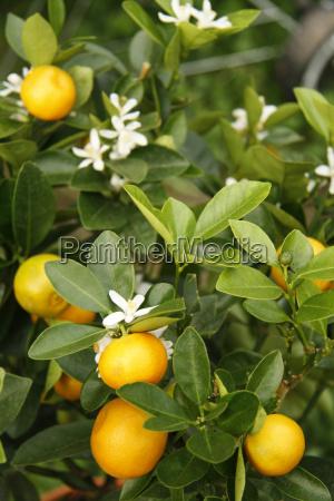 mandarin saplings