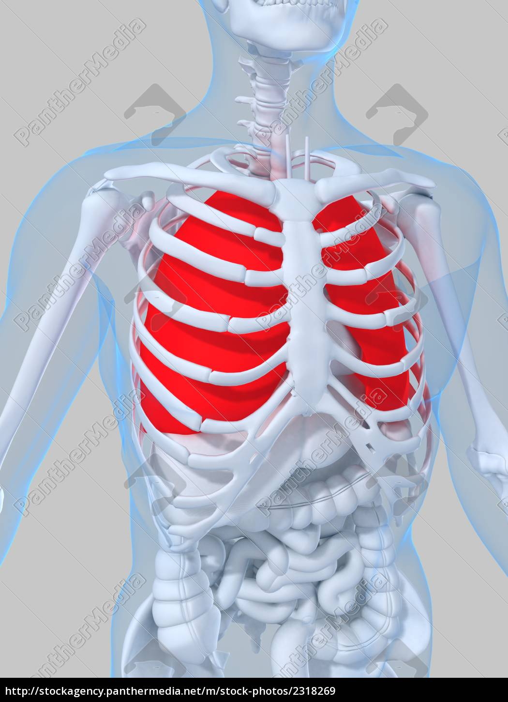 menschliche anatomie mit lunge - Lizenzfreies Bild - #2318269 ...