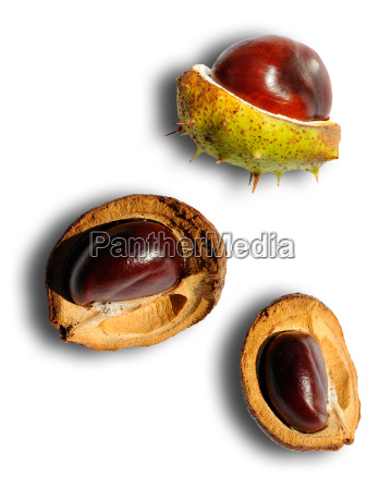 chestnuts castanea
