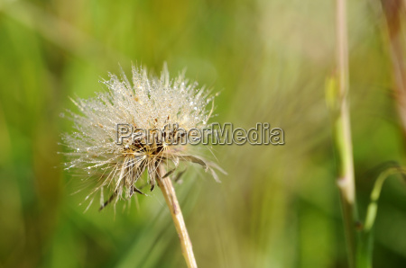 spear thistle cirsium vulgare