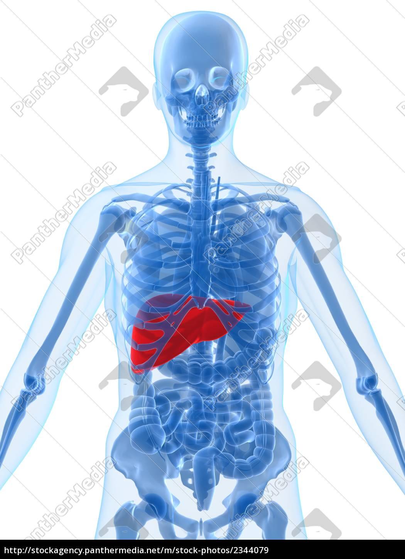 menschliche anatomie mit hervorgehobenen leber - Lizenzfreies Bild ...
