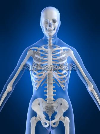 weibliche skelett