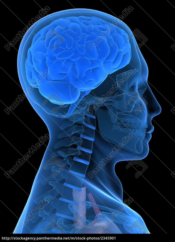 menschliche kopfform mit gehirn - Stockfoto - #2345901 - Bildagentur ...
