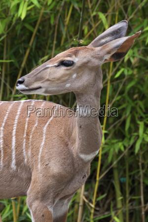 kleiner, kudu - 2354799
