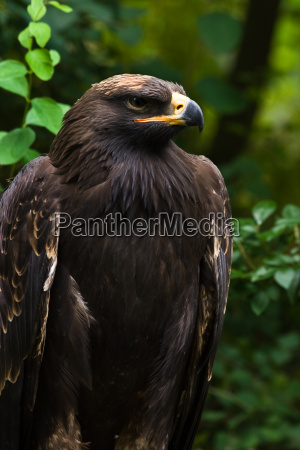 young steppe eagle