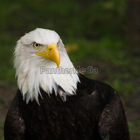bald eagle portrait square cropped image
