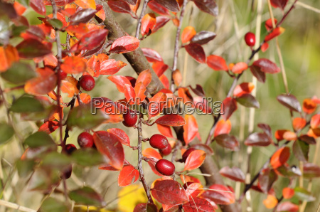 autumnal colorful rowanberries