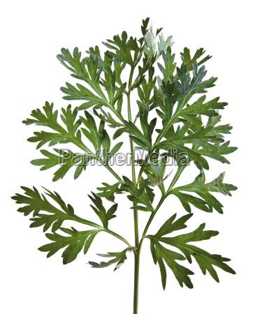 wermut artemisia absinthium