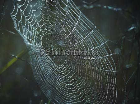 dewy cobweb