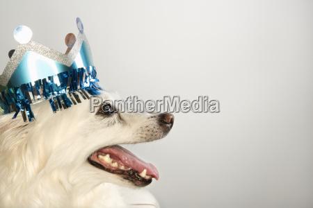 hund tragen papier krone