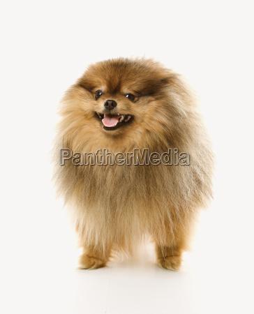flaumiger brauner pomeranian hund