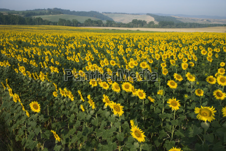sunflower field tuscany