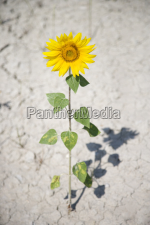 sunflower in dry dirt