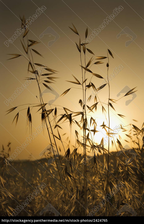 hafer, pflanzen, bei, sonnenuntergang. - 2424765