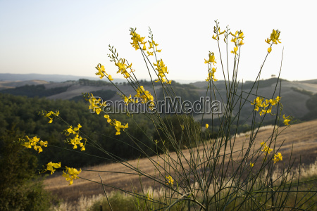 wildflower tuscany italy