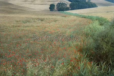 field of poppies tuscany