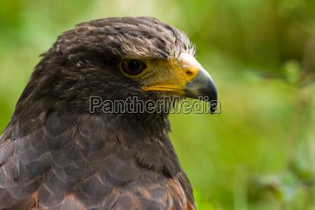 portrait of harris hawk