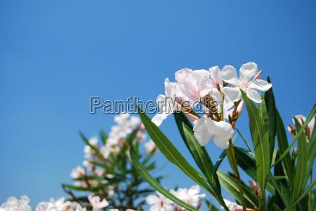 oleander flowers in white