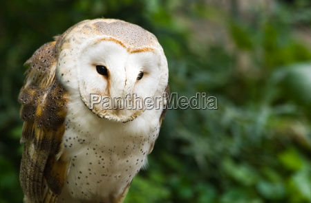 barn owl sitting and watching
