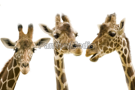 giraffe wd272