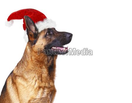 weihnachtsmann hund hintergrund