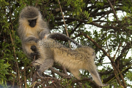 vervet monkey family grooming session searching