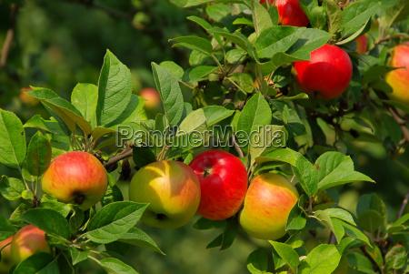 apfel am baum apple on