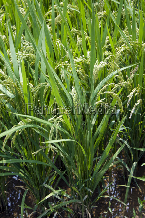rice plant south korea