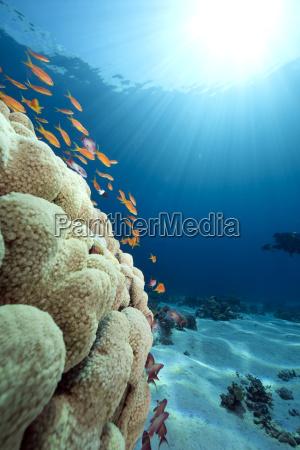 ozeankoralle und fisch