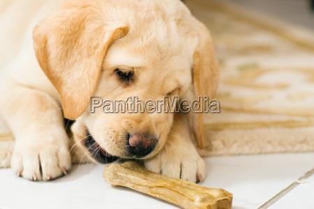 hundelwelpe frisst hundeknochen