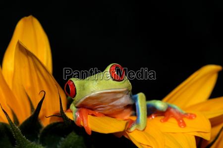 rotaugenlaubfrosch agalychnis callydrias