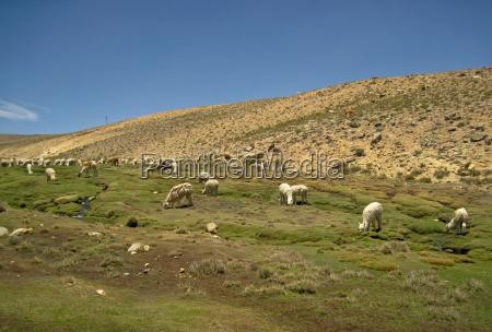 lama flock in peru