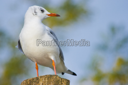young black headed gull on wood