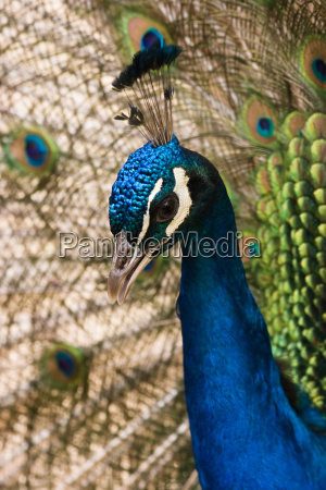 portrait of blue peacock