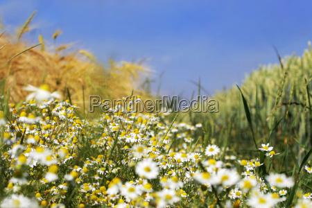 margeriten zwischen getreidefeldern