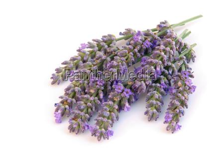 lavendel freigestellt lavender isolated 01